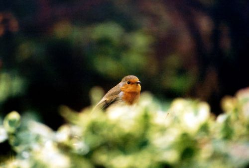 Robin in Bush